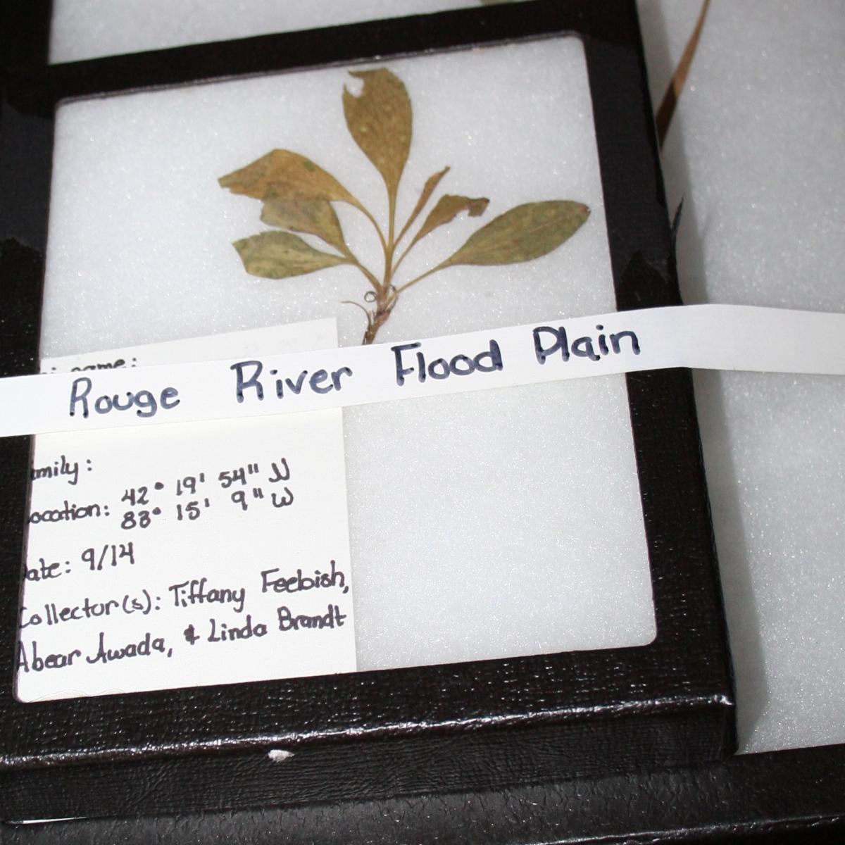 Photo of pressed leaf inside rectangular black framed plant specimen display case with tape identifying Rouge River Basin.
